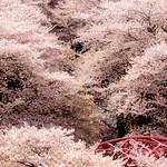 中目黒・桜