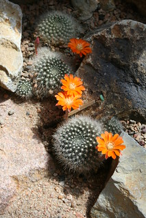 Blooming cacti | by patrick_standish