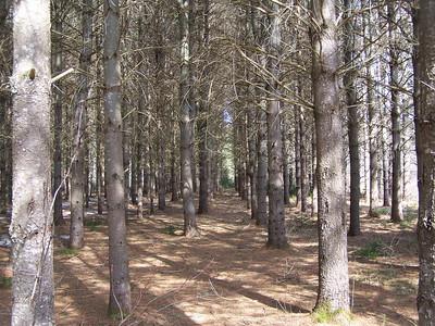 White Pine Planation