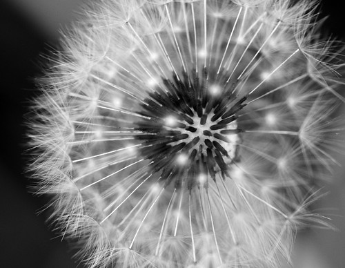 Dandelion B+W | by Deryk Tolman