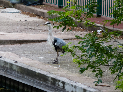 Heron by the boating lake