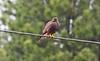 Swainson's Hawk by www.lirongertsman.com