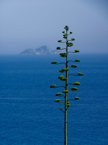 Flower of a cactus plant and Isola d'Elba