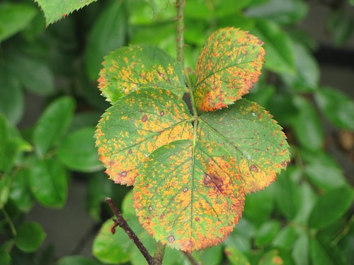 Rose rust disease | by mmmavocado