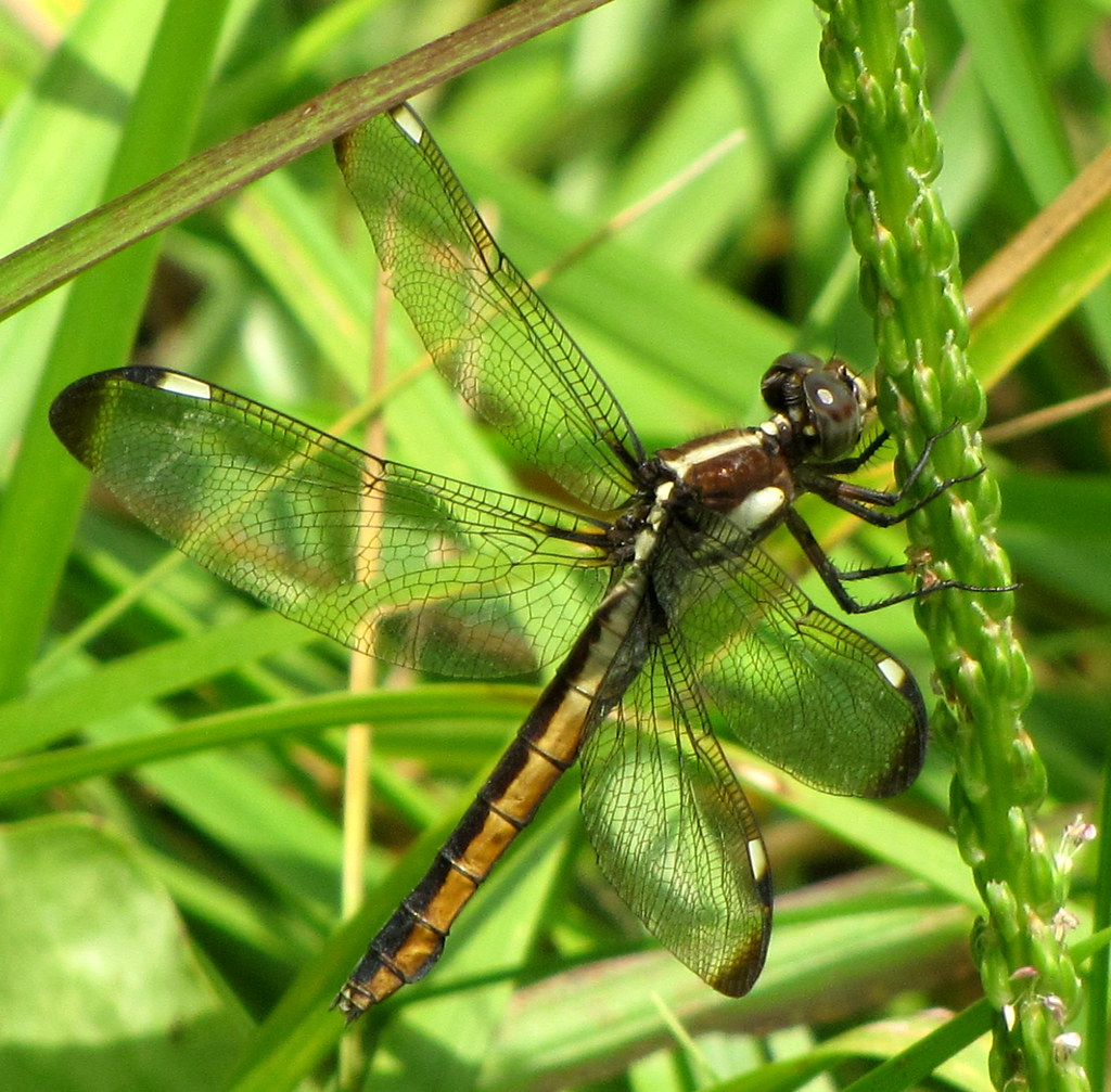 female Spangled Skimmer, Hancock Co, TN | Libellula cyanea ... - photo#37