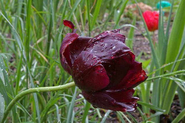 Tulipe. Thésée-la-Romaine (Loir-et-Cher).