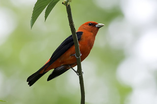 Scarlet Tanager | by Kelly Colgan Azar