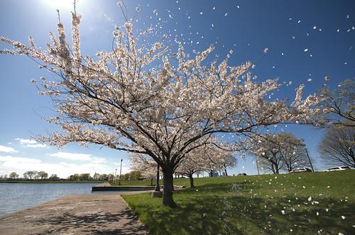 travel flowers blue summer lake flower tree art nature beautiful landscape petals spring nikon unitedstates detroit cherryblossom belleisle detroitmichigan