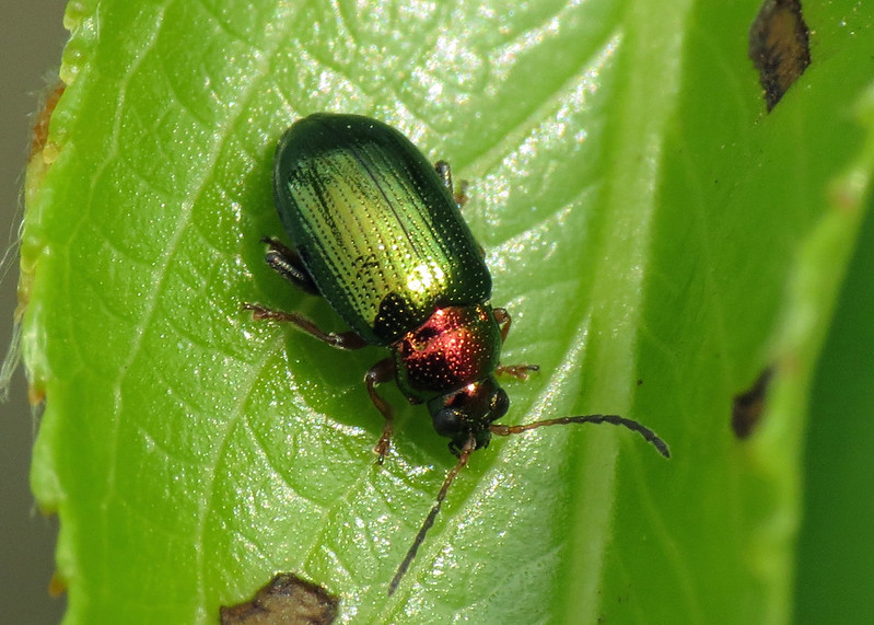 Willow Flea Beetle - Crepidodera aurata