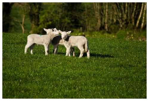 spring lambs conradharley