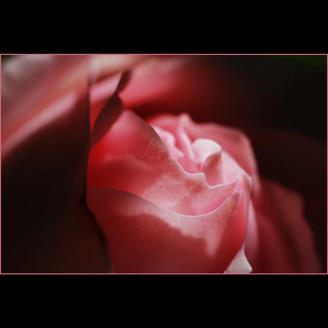 rosebud . . .