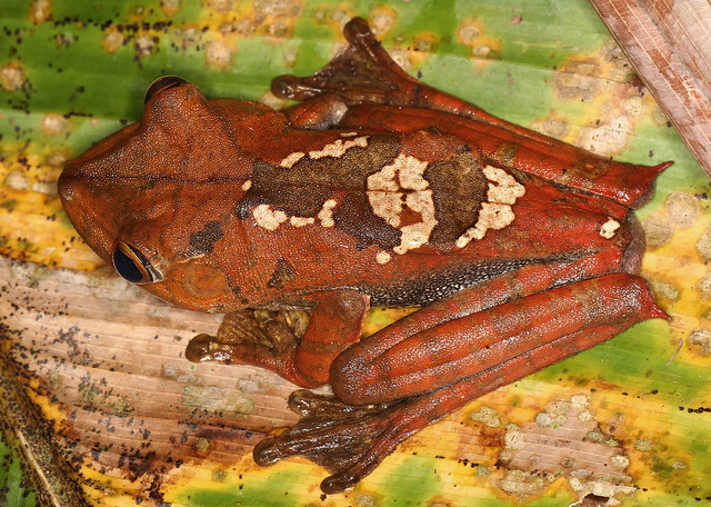 Map Tree Frog (Hyla geographica)