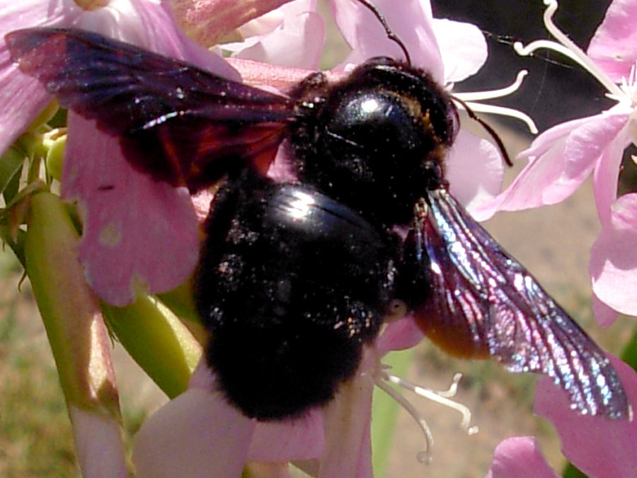 Black Bumble Bee >> Xylocopa Black Bumble Bee Mo Flickr