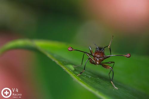 Stalk eye fly   by PF T.J.