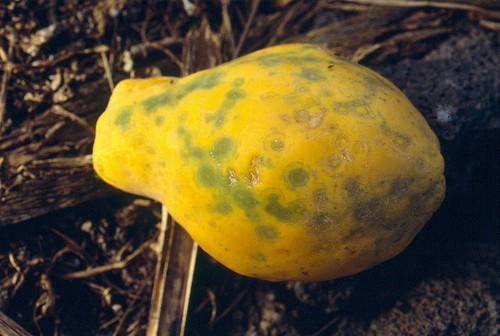 Papaya ringspot (PRSV) 9 | by Plant pests and diseases