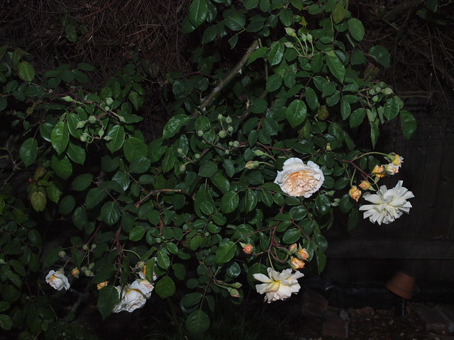 L4202322 buff beauty rose