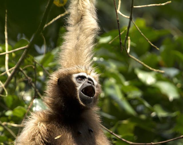 Hillock Gibbon Ape