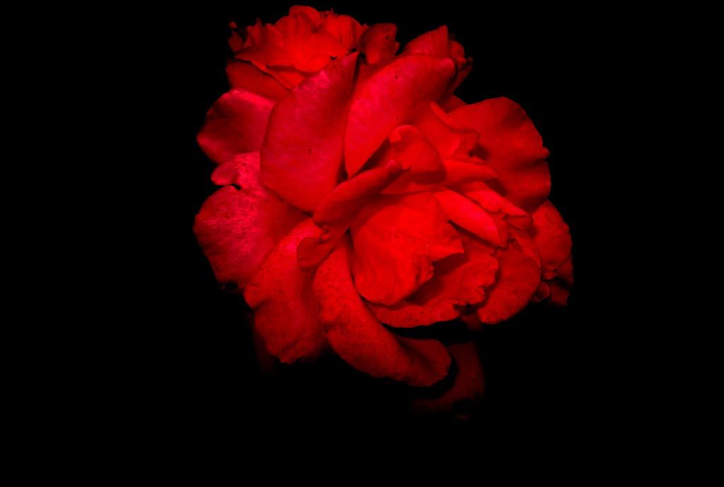 Rosa Rossa A Sfondo Nero Federico Costantini Flickr