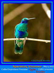 SPARKLING VIOLETEAR (hummingbird) MALE Colibri coruscans Close Up, Front View, Quito, ECUADOR. Photo by Peter Wendelken