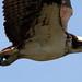 Osprey Close Pass