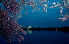 Cherry Blossoms in DC   by Bob Jagendorf