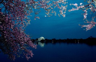 Cherry Blossoms in DC | by Bob Jagendorf