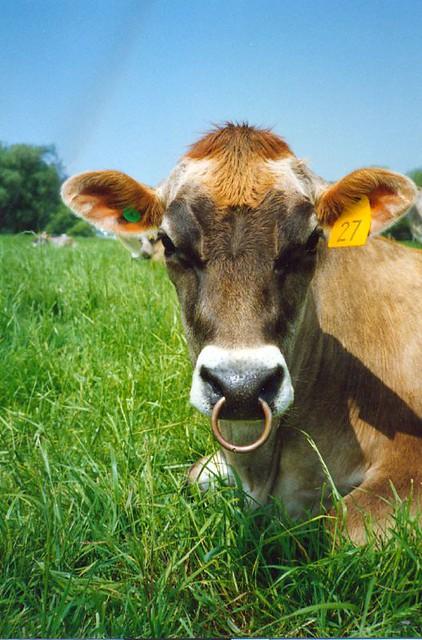 Pierced Cow #27