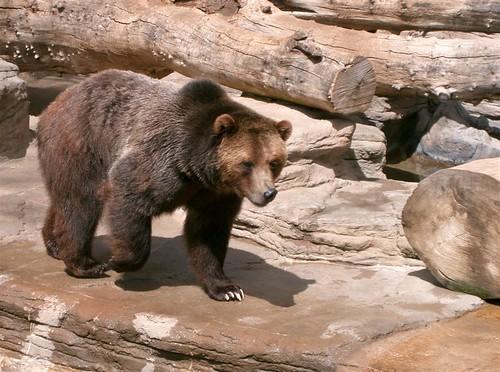 Grizzly Bear 2   by jameschipmunk