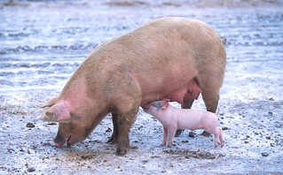 sow_with_piglet | by Royalty-free image collection