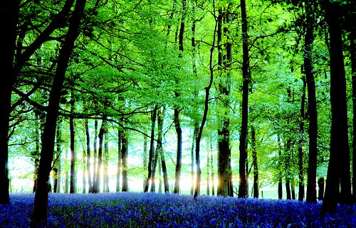 Backlit bluebells | by Today is a good day
