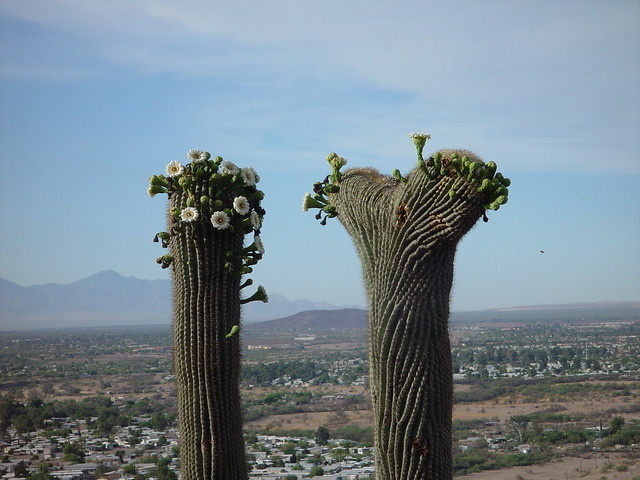 Saguaro Cacti and flowers on A Mountain - Martinez Hill in the background - 20060527