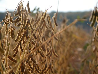 Ready for harvest | by Bill Strong