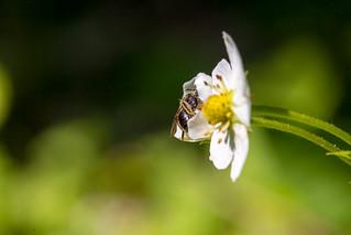 Bie i markjordbærblomst | by ks mikkelsen
