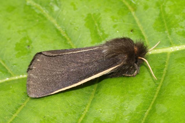 5852 ♀ moth Porto Joffre, Pantanal, Brazil 03.10.2015