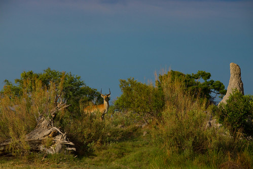 Reedbuck | by rhombitruncated