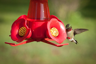 Ruby-throated hummingbird | by wantmoore