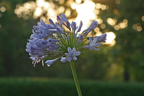 flower sunrise dew lakegray oldsaft