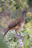 west mexican chachalaca (5D 1197 70-200+1.4TC@280 f8 ISO3200 CROP) by seanhoyer