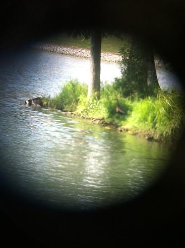 ohio mountvernon dendrocygnaautumnalis blackbelledwhistlingduck