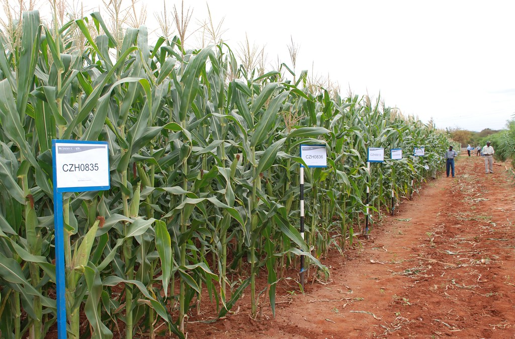 Drought tolerant maize lines at Kiboko, Kenya | Numerous mai