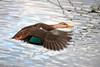 Mottled Duck in Flight by Bill McBride Photography