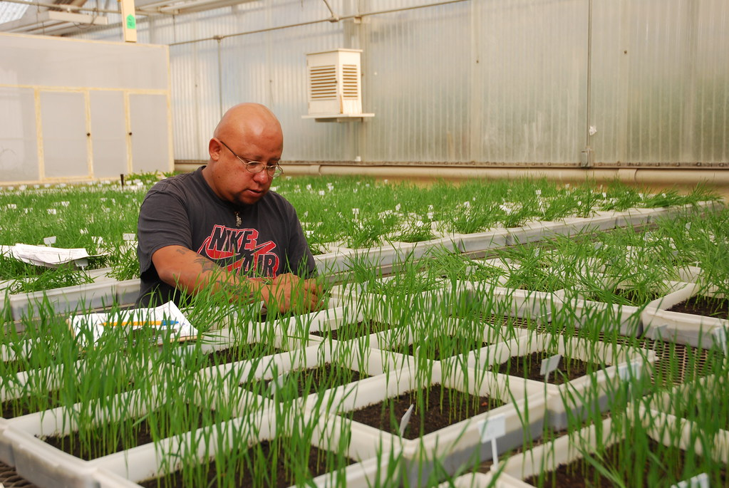 Counting wheat seedlings in greenhouse germination test | Flickr