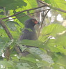 Slate-colored Hawk by chris.w.birder