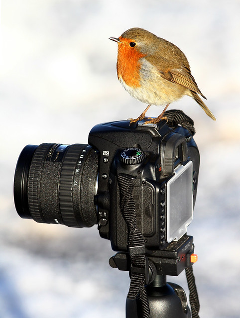 Robin photographer