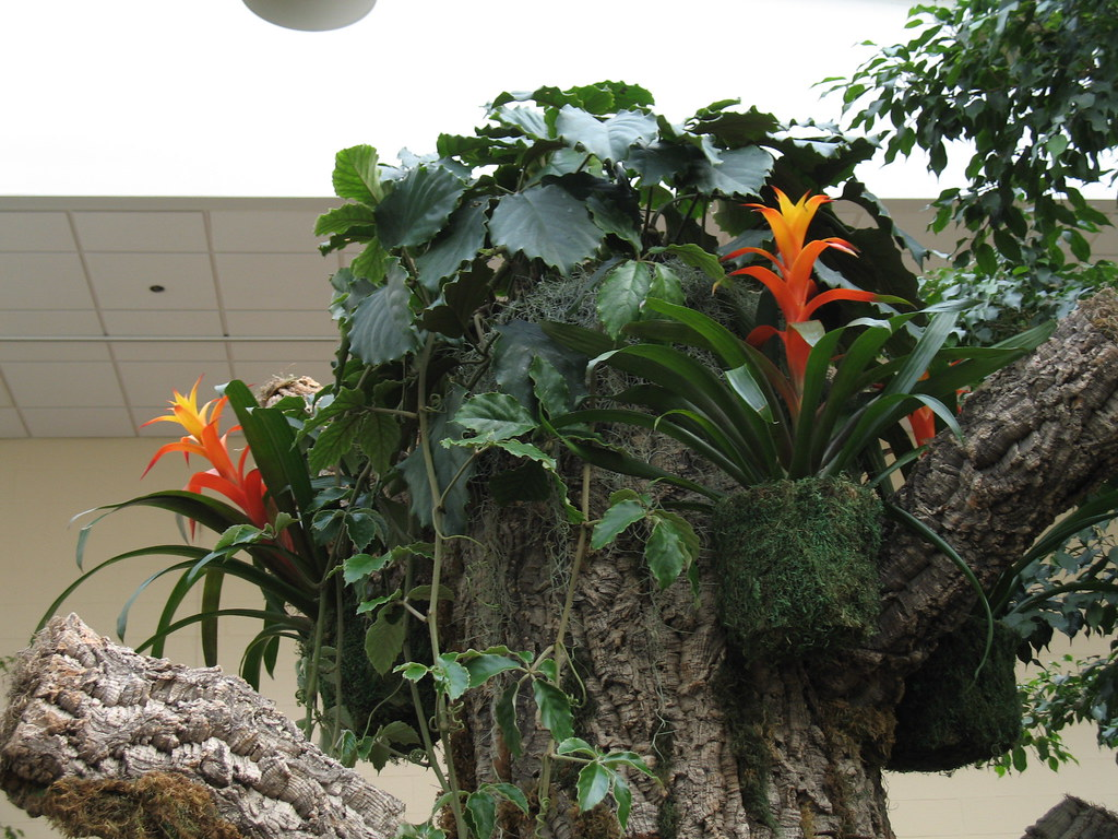Orchid show 2011 behind the scenes bromeliads 1 19 11 - Orchid show missouri botanical garden ...