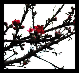 Peach Blossoms VII | by The Aberrant Eye