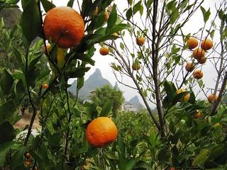 Mandarin Oranges | by everlutionary