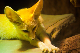 Cute Fennec Fox Stretching | by lassi.kurkijarvi