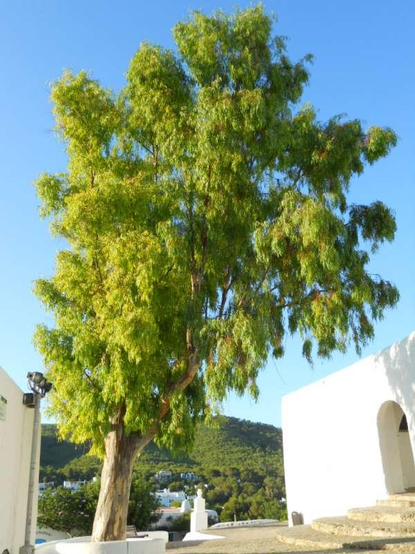 Eucalyptus camaldulensis v 3