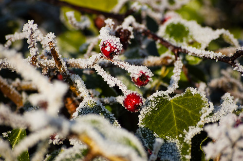 Frosted haws